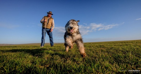 Bearded Collie Sheep Dog